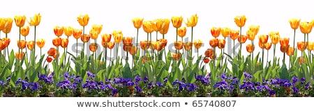 yellow pansy flowers garden border stock photo © sherjaca