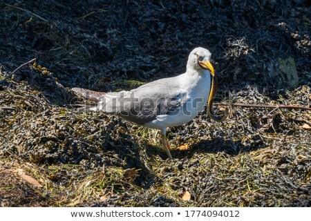 Gull with Eel Stock photo © suerob