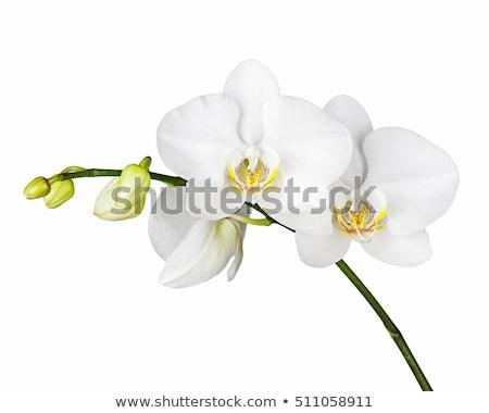 branco · orquídea · isolado · flor · jardim · fundo - foto stock © deymos