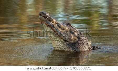 Crocodilo forte dentes perigoso jacaré abrir Foto stock © photochecker