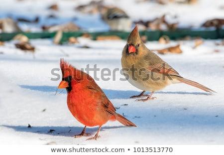 Homme · nord · isolé · blanche · oiseau · rouge - photo stock © saddako2