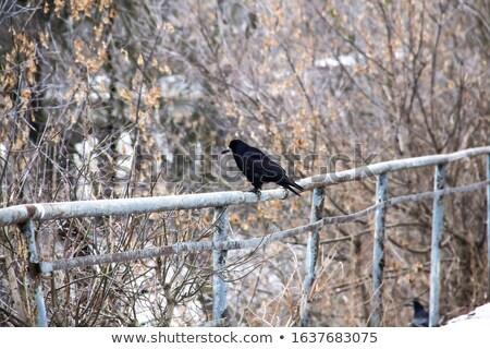 Siyah karga Metal sütun ayakta tüy Stok fotoğraf © taviphoto