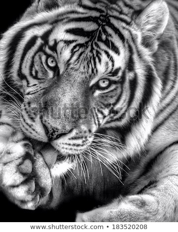Bengalski Tygrys czyszczenia zielona trawa Zdjęcia stock © Elenarts
