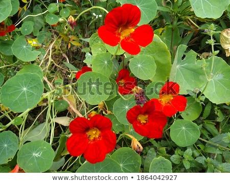 Red Nasturtium Flower Stock photo © stocker