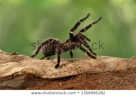 Tarantula Stock photo © smuki