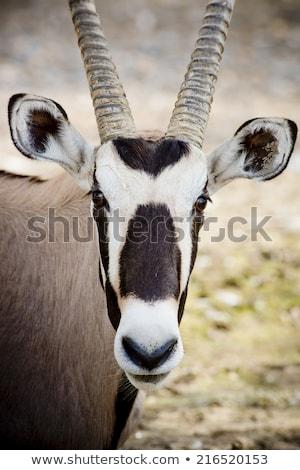 gemsbok antelope oryx gazella stock photo © michaklootwijk