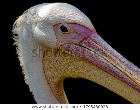 great white pelicans stock photo © dirkr