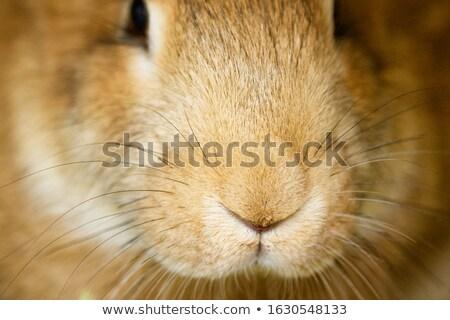 Coniglio museruola immagine guardingo grigio coniglio Foto d'archivio © pressmaster