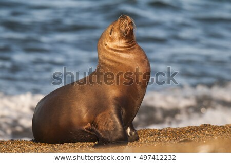 south american sea lion stock photo © hofmeester