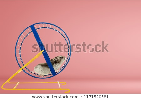 criceto · corrida · roda · laranja · mulher · homem - foto stock © flipfine