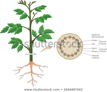 cross section of the trunk vector illustration stock photo © m_pavlov