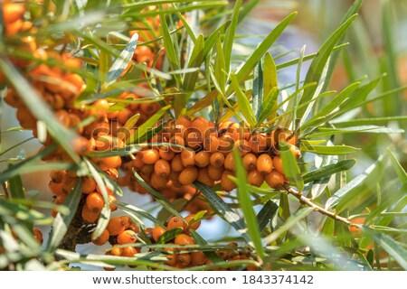 ramo · maduro · branco · natureza · fruto - foto stock © premiere