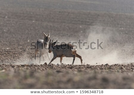 herd of roe deer on plowed land Stock photo © taviphoto