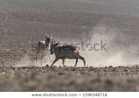 鹿 · バック · 自然 · 草原 - ストックフォト © taviphoto