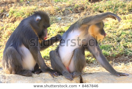 Baboons grooming each other. Stock photo © simoneeman