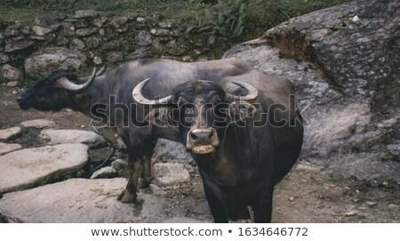 Kamera park Güney Afrika inek hayvanlar boğa Stok fotoğraf © simoneeman