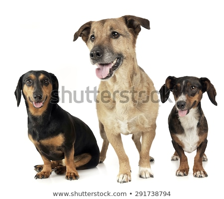 group of funny dogs in endless white studio Stock photo © vauvau