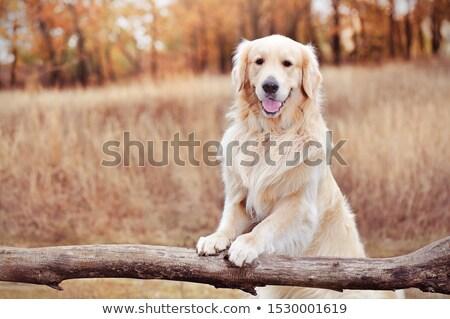Golden retriever oturma orman genç çim portre Stok fotoğraf © mady70