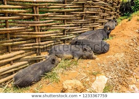 черный свинья женщины песок природы грязи Сток-фото © Hochwander