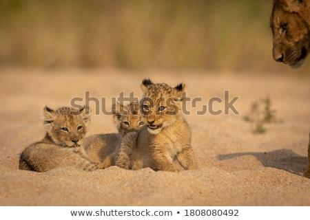 Stock fotó: Oroszlán · medvebocs · ül · száraz · park · Dél-Afrika