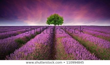 Mező levendula termés tájkép farm mezőgazdaság Stock fotó © IS2