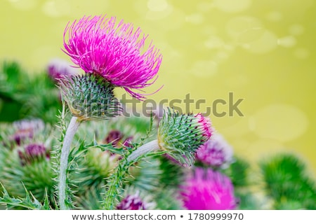 Thistle with leaves Stock photo © odina222