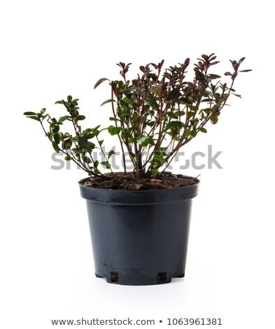 Stock photo: garden azalea marushka in a pot