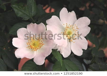wild rose flower Stock photo © prill