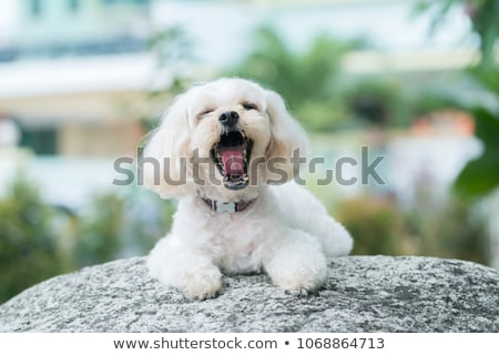 portré · ásít · vegyes · fajta · kutya · stúdiófelvétel - stock fotó © vauvau