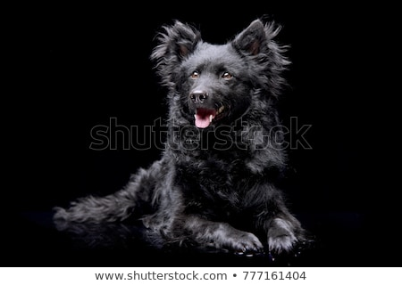 Studio shot of an adorable Mudi dog Stock photo © vauvau