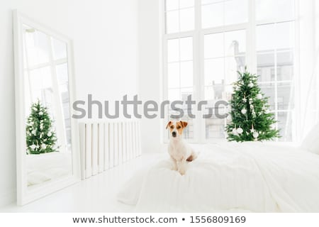 Indoor shot of cute white and brown puppy poses on bed in bedroom, enjoys cozy domestic atmosphere d Stock photo © vkstudio