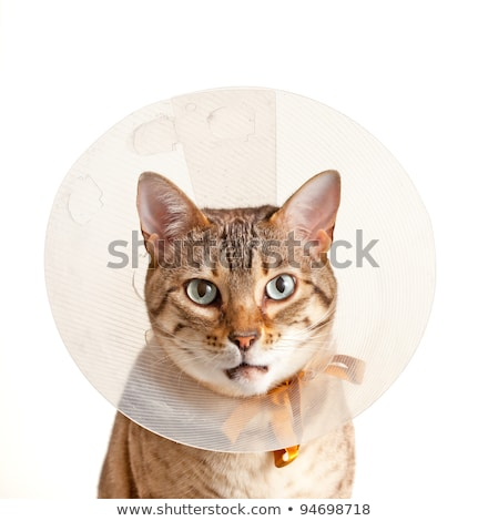 cat looking sad in neck collar to stop it licking a wound Stock photo © raduga21