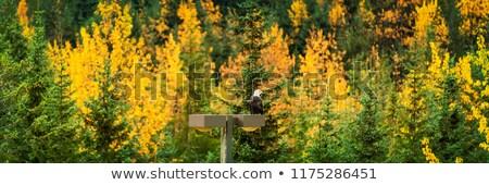 лысые орел живая природа Аляска лес осень Сток-фото © Maridav