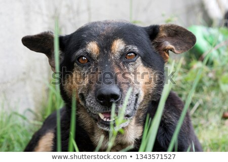 German shepherd and a mixed breed dog Stock photo © eriklam