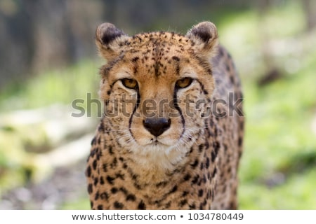 cheetah · top · rock · natuur · steen · snel - stockfoto © kmwphotography