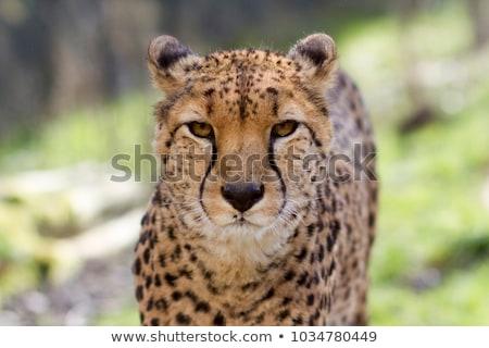 çita yüz detay kürk portre Stok fotoğraf © KMWPhotography