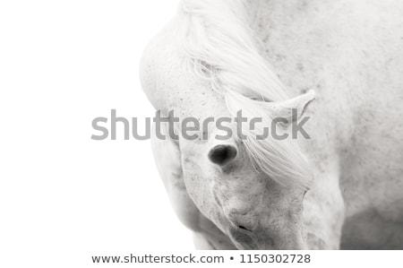white horse portrait stock photo © saddako2
