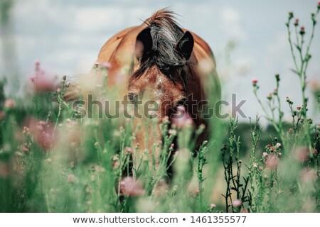 Brown Mare Grazing Stock photo © rhamm