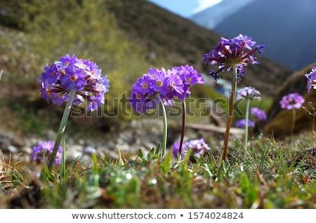 flor · neve · cedo · primavera · gelo · inverno - foto stock © claudiodivizia