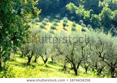 стране оливкового молодые деревья холме области Сток-фото © lunamarina