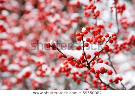 Red winter berries under snow Stock photo © elenaphoto