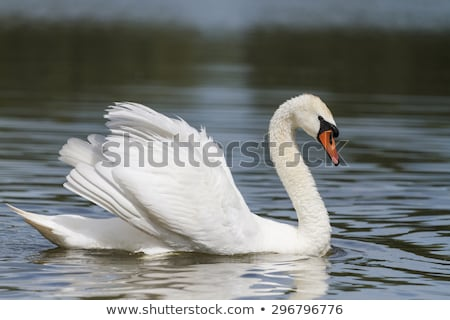 mute swan floating on water stock photo © stevanovicigor