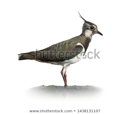 Northern Lapwing Stock photo © ivonnewierink
