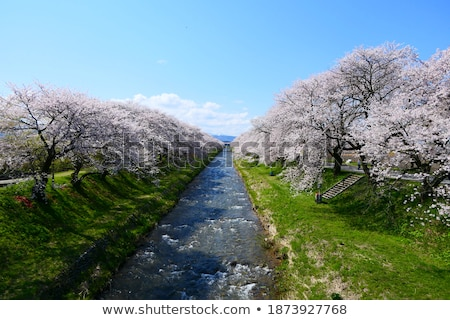 Tourists stroll by the cherry blossoms Stock photo © backyardproductions