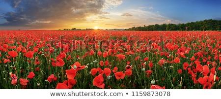 pipacs · mező · gyönyörű · piros · kék · felhős - stock fotó © Anettphoto