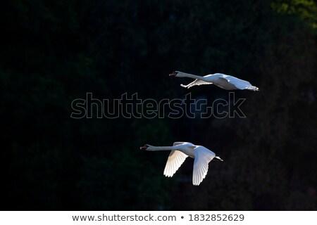 néma · hattyú · repülés · fagyott · tó · víz - stock fotó © taviphoto