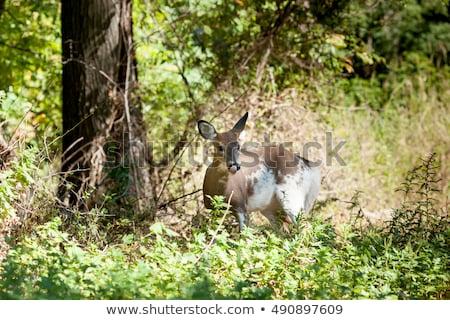 Stock photo: Piebald Whitetail Deer Buck