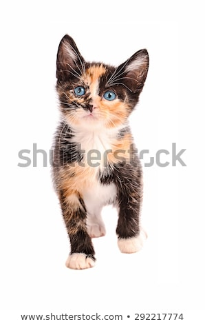 Calico Kitten Standing Stock photo © dnsphotography