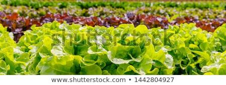 Velden groene Rood voorjaar Stockfoto © tilo