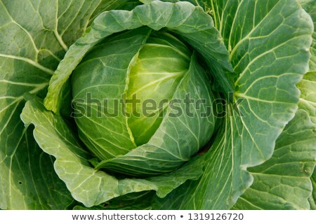 Crop of Cabbages Stock photo © rghenry